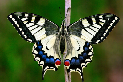 Adult de la papallona reina (Papilio machaon)
