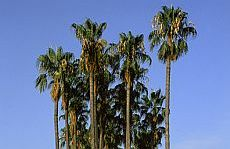 Washingtònia (Washingtonia robusta)